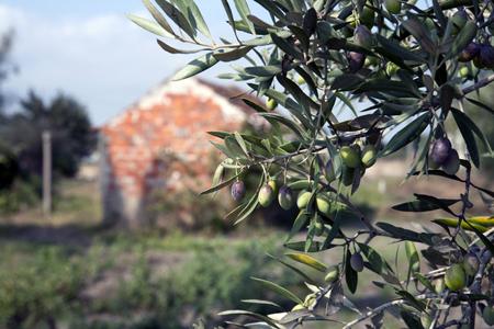 Olive (11).jpg