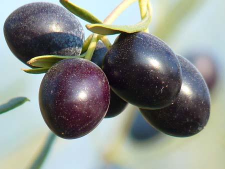 Olive (5).jpg
