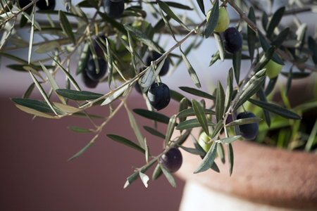 Olive (8).jpg
