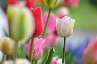 Fleur Town 吉本花城園|チューリップの球根セット