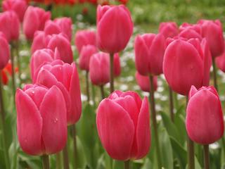国華園|来年春に咲かせるチューリップたち