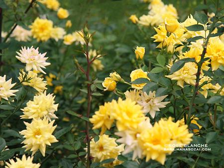 Yellow_Meillandina.jpg