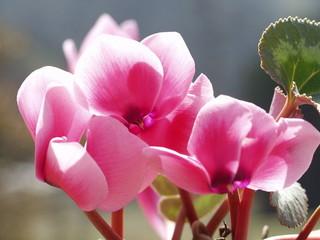 ガーデンシクラメン 花後の管理