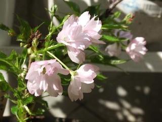 一才桜で花見♪