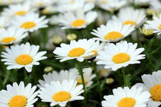 春の花壇 クリセンサマム
