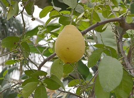 lemon002.jpg