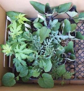 夏野菜 苗の選び方