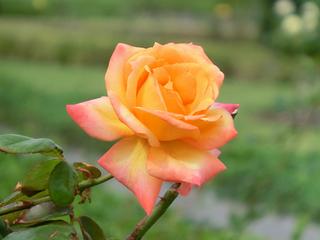 バラ 鉢植えの栽培管理