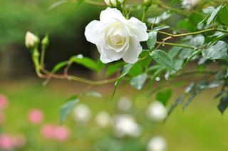 バラ 庭植えの栽培管理