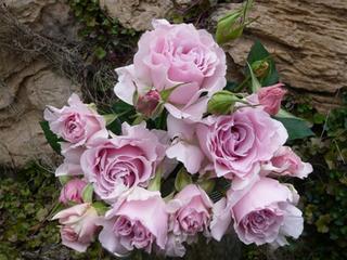 バラ 新苗の選び方
