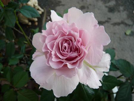 rose (3).jpg